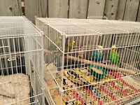 4 budgies with cage