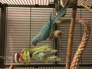 Under year old female bule Indian ring neck not to friendly