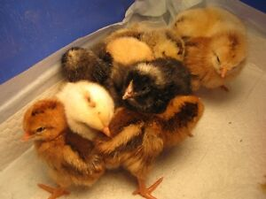 Chicks or Hatching eggs