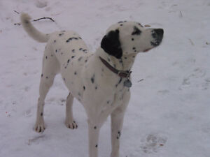 Wanted: Dalmatian, lab mix for good home