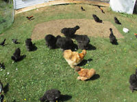 For Sale - chickens