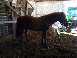 4year old horse 400$ obo