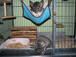 2 Male Chinchillas w/ Double Ferret Nation Cage and everything