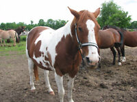 Paint mare for sale