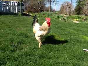 Columbian Rock Roosters for sale