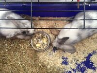 2rabbits for sale male and female