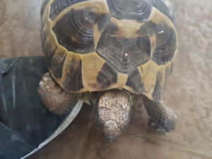 7 year old hurmanns tortoise for sale.