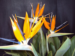 Bird of Paradise for sale