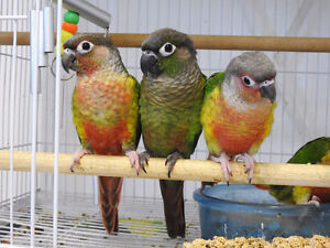 ❤★❤Handfed baby Conures with Cage❤★❤