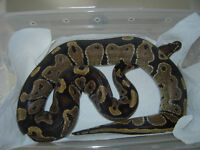 Adult Male Normal 100% Het Orange Ghost Ball Python for sale...