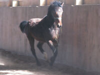 Hypo-allergenic Curly Horse Colt