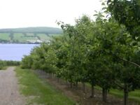 Apple Pickers Wanted
