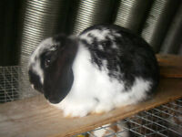 Holland Lop Female