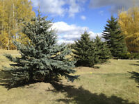 Trees!! Supplied,Delivered, Planted!! From 6'-14' Tall!!