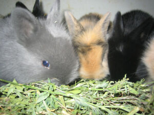 Very cute cuddly Lionhead bunnies for sale,make great,quiet pets