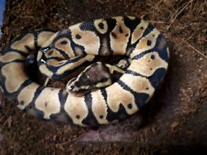 Last of 2017 hatchling ball pythons