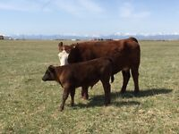 My kids want to sell their pet cow and calf