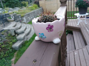 Healthy CACTUS plant in cute ceramic pot