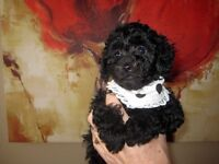 Toy Poodle puppy - only one FEMALE
