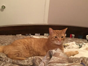 Lost: orange male cat named Mikey