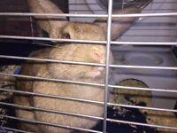 Beautiful brown rabbit