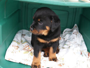 rottweiler puppies ready for new homes Oct  22, 16