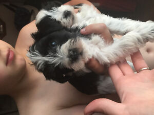 Miniature/toy parti coloured schnauzers ready Friday