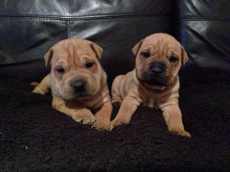 Dogs For Sale In Northamptonshire Uk
