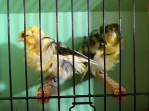 Parisian frill canaries for sale