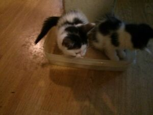 2 beautiful female calico cats for sale Cornwall Ontario image 5