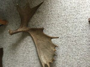 One naturally shed moose antler.....