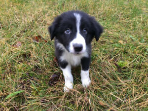 Cute Australian X border collie male pup looking for a new home