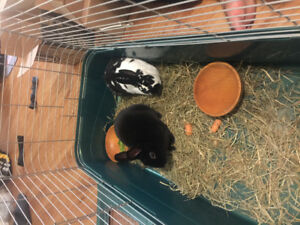 Friendly Mini Rex rabbit female