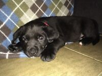 Bernise mountain dog/lab pups for sale