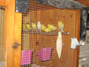 Selling Beautiful Canaries - by Master Breeder