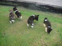 10 pure akita puppies, ONLY 4 LEFT!!