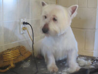 4 West Highland (westie) young adults(SUPPLIES INCLUDED)