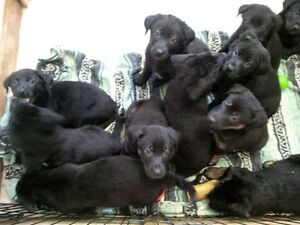 Shepherd/Lab Cross Puppies Available