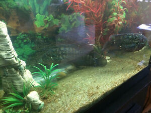 """JACK Dempsey Ciclid up to 2.5"""" long_pic of adult mum and dad for Windsor Region Ontario image 1"""
