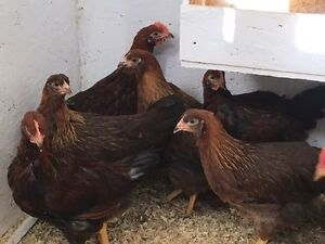 Young welsummer roosters Strathcona County Edmonton Area image 1