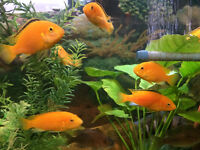 Amazing …African cichlid fish for rapid sale