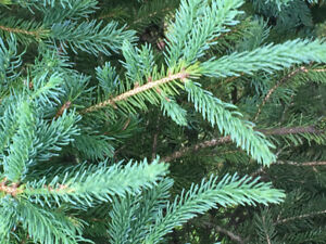 Colorado Blue Spruce Trees for Sale