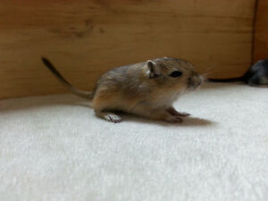 Beautiful hand tamed baby gerbils are ready to go to new homes.