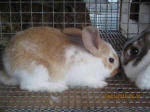 lapins de chaires a vendre