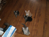 black tiget kittens free to a good home