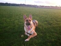 Male German Shepherd needs a new home