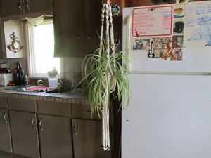 HANGING SPIDER PLANT Peterborough Peterborough Area image 1