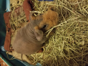 2 male Guinea pigs rehoming