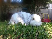 Pure Bred Dwarf Rabbit Ganmain Coolamon Area Preview