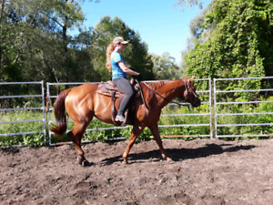 REGISTERED QUARTER HORSE 5 YEAR OLD MARE BROKE TO RIDE